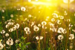 Close up dandelion flowers with sunlight rays. Spring background. Copy space. Soft focus.  stock photo