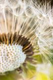 Close up of dandelion fluff Royalty Free Stock Photography