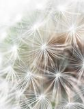 Close up of dandelion fluff Stock Photo