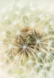 Close up of dandelion fluff Royalty Free Stock Photo