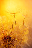 Close up of dandelion on golden background Stock Photos
