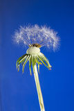 Close up of dandelion head loosing seeds on blue Stock Images