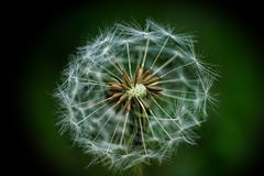 Close up of dandelion head Stock Images