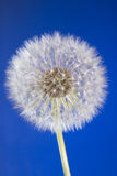 Close up of dandelion head with seeds on blue sky Stock Photography