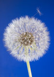 Close up of dandelion head with seeds on blue sky Royalty Free Stock Photography