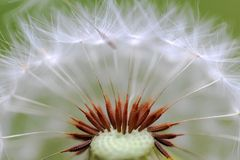 Dandelion, macro Stock Photo