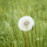 Close-up dandelion with insect, beauty the mysteries Royalty Free Stock Photography
