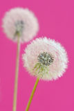 Close up of dandelion Stock Photos