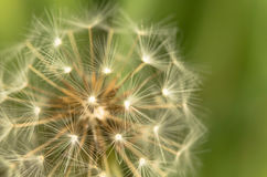 Close up of dandelion isolated on green background. Close up of macro dandelion petals isolated on green background royalty free stock photo