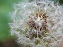 Close up of Dandelion on natural green background Stock Photo