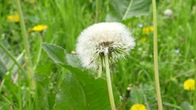 Close-up Dandelion. Nature dandelion. Dandelion blowing seed stock footage