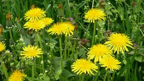 Close-up Dandelion. Nature dandelion. Weed in the lawn dandelion with yellow flowers stock video footage