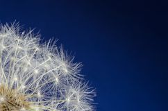 Dandelion seedhead on a blue background. Close-up of a dandelion puff-ball on a dark blue background royalty free stock image