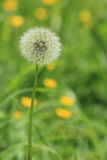 Close up of Dandelion seed ball. A close up of a dandelion seed ball in a meadow full of dandelions and buttercups stock photo