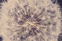 Close up of dandelion seed royalty free stock photos