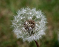 Close up of a dandelion seed head stock photos