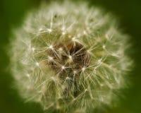 Close up of Dandelion seed head, Taraxacum officinale. Royalty Free Stock Image