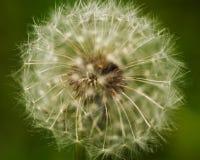 Close up of Dandelion seed head, Taraxacum officinale. stock photos