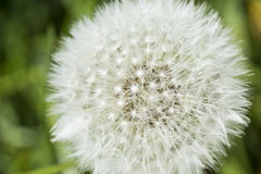 Close up of dandelion seed heads Royalty Free Stock Photos
