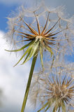 Close up of dandelion seeds Royalty Free Stock Photos