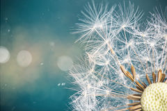 Close-up of dandelion seeds on blue natural background royalty free stock photography
