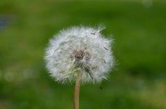Close up of Dandelion seeds. Close up of Dandelion fluffy seeds Stock Image