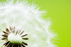 Close-up of Dandelion Seeds on Green Background. Clock dandelion macro shot against a clean green background Royalty Free Stock Images
