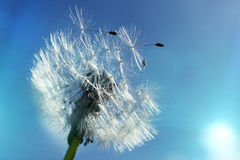Close up of dandelion spores blowing away Stock Images