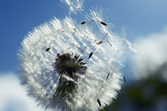 Close up of dandelion spores blowing away Royalty Free Stock Image