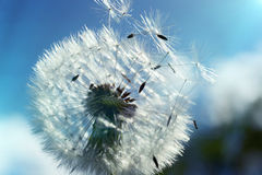 Close up of dandelion spores blowing away Stock Photography