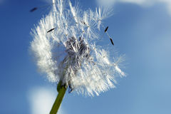 Close up of dandelion spores blowing away Stock Image