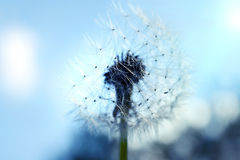 Close up of dandelion spores blowing away Royalty Free Stock Photo