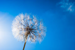 Close up of dandelion spores blowing away royalty free stock images