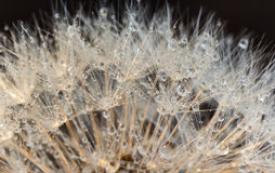 Close up dandelion (Taraxacum) with droplets, with soft focus Royalty Free Stock Photo