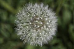 Close up Dandelion stock image