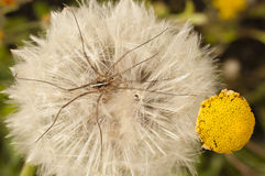 Close up of a dandelion, taraxacum, seeds. Close up of a dandelion, taraxacum, blowball with daddy long-legs spider stock images