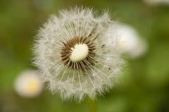 Close up of a dandelion, taraxacum, seeds Royalty Free Stock Image