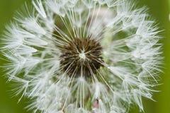 Close up of a dandelion, taraxacum, seeds Stock Photos