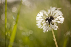 Close up of a dandelion, taraxacum, seeds Royalty Free Stock Photography