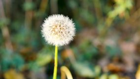 Close-up of a dandelion flower. Close-up of a dandelion. There is bokeh behind. Filmed in a park during the fall. Late afternoon light stock video footage