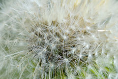 Close Up Dandelion Royalty Free Stock Photos