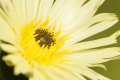 Close up of dandelion yellow flower Royalty Free Stock Images