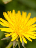 A close up of a dandelion yellow head with fine texture and detail and selective blur and focus in light spring stock photography