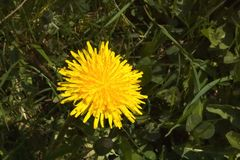 Dandelion bloom closeup Royalty Free Stock Photo