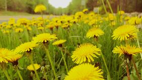 Close up of dandelions in meadow Royalty Free Stock Photos
