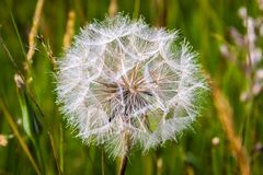 Dandy Lion Close up royalty free stock photo