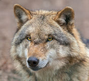 Close up of a Dangerous Grey Wolf Royalty Free Stock Photo