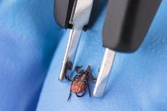Castor bean tick and tweezers on hand in blue glove. Ixodes ricinus royalty free stock photography