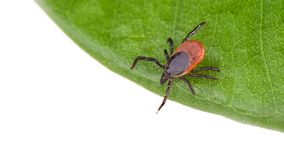 Castor bean tick on a green leaf. Ixodes ricinus stock photo