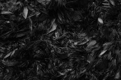 Close up of dark black feather wool texture abstract background,. Black feathers fur texture fashion background concept Stock Photos